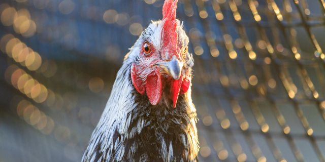 Rooster pecked woman to death in 'rare' attack, report says